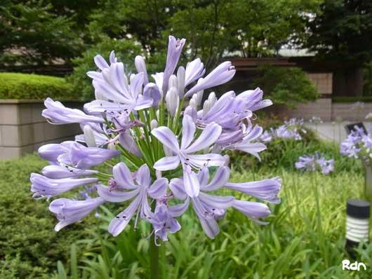 flower_kanada1.jpg